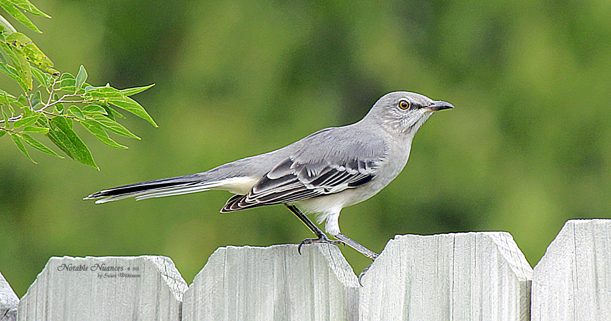 Arkansas State Bird