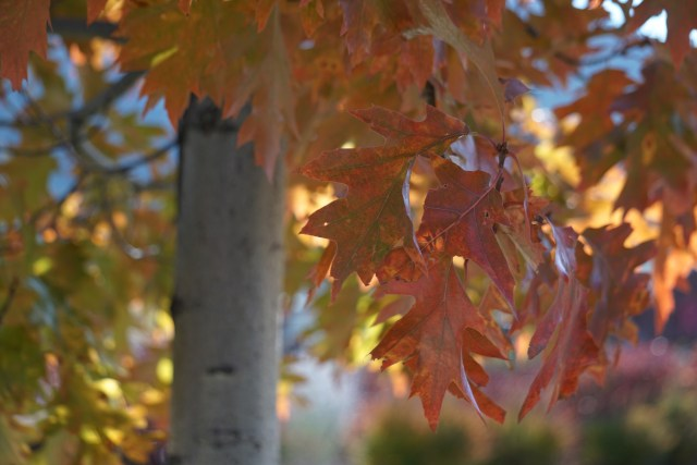 Maple Leaves in the Fall, Heavenly Village, South Lake Tahoe
