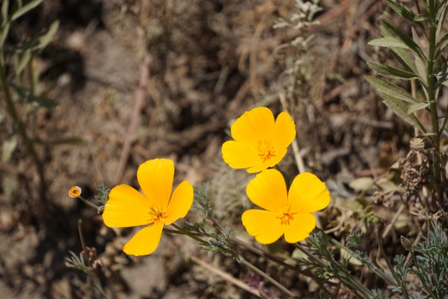 California poppies bloom along Bird Island Trail in Point Lobos State Reserve