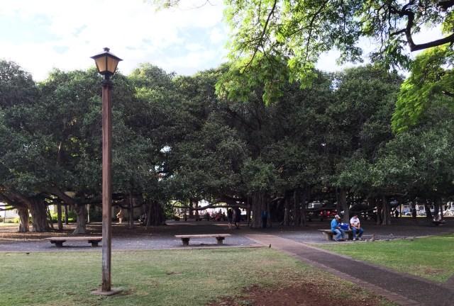 The Lahaina Banyan Tree in Maui Hawaii