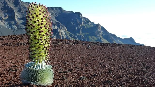Hawaiian Silversword in Bloom Maui Hawaii