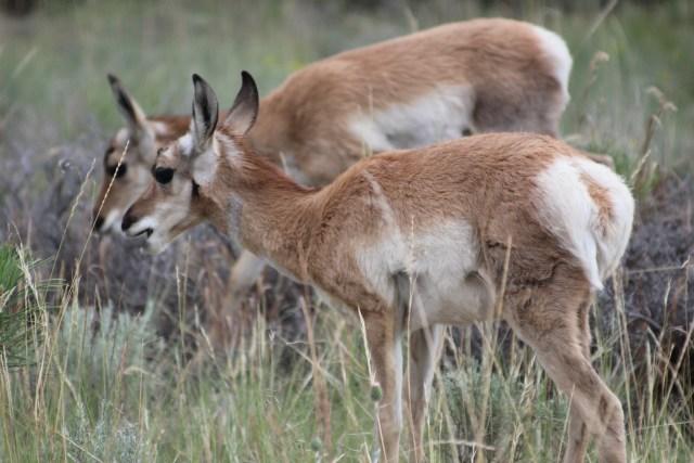 Deer at Bryce Canyon National Park Utah