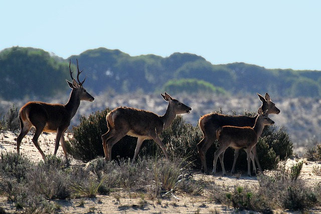 Deer in Donana National Park Andalusia Spain