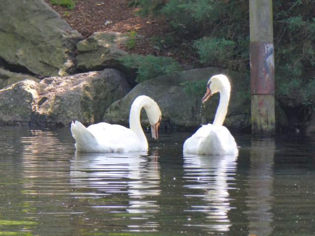 Swans in the lagoon at the Boston Public Garden
