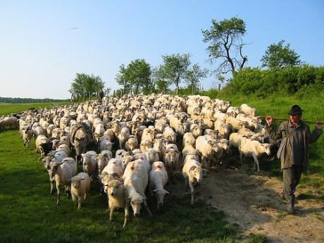 Led Like Sheep