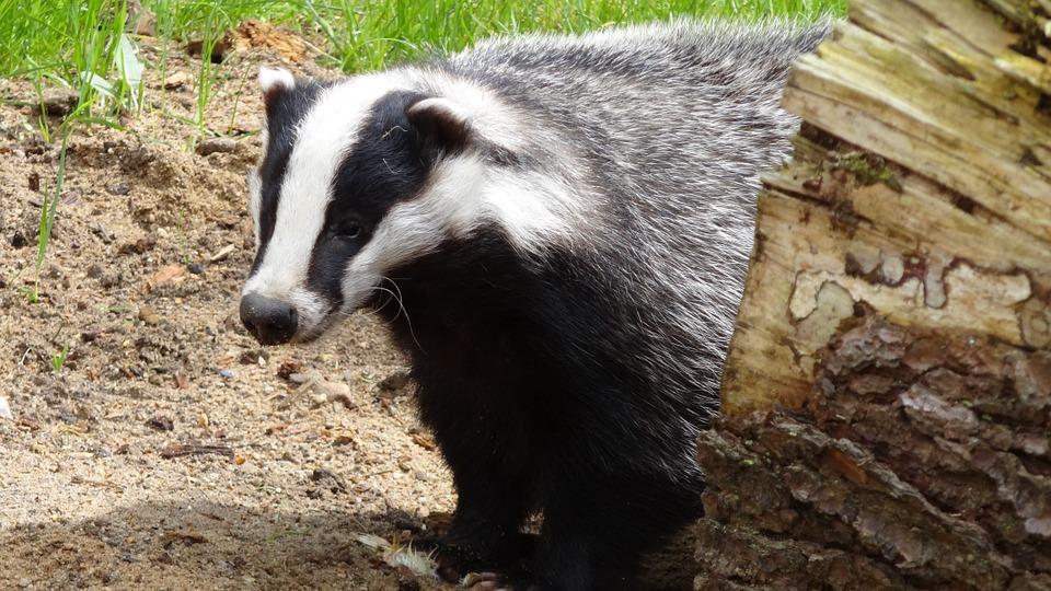 El Tejón: Un animal mamífero, carnívoro e irritable
