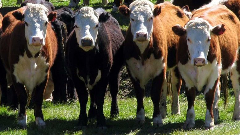 Nombres de vacas originales y bonitos