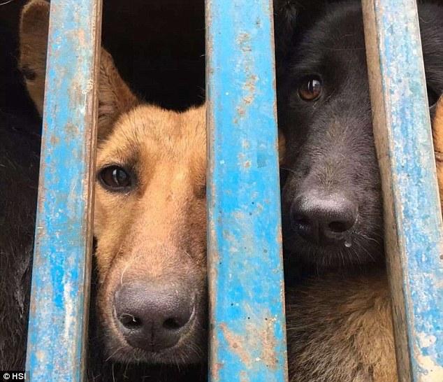 Erano 200 i cani nel camion diretto a Yulin
