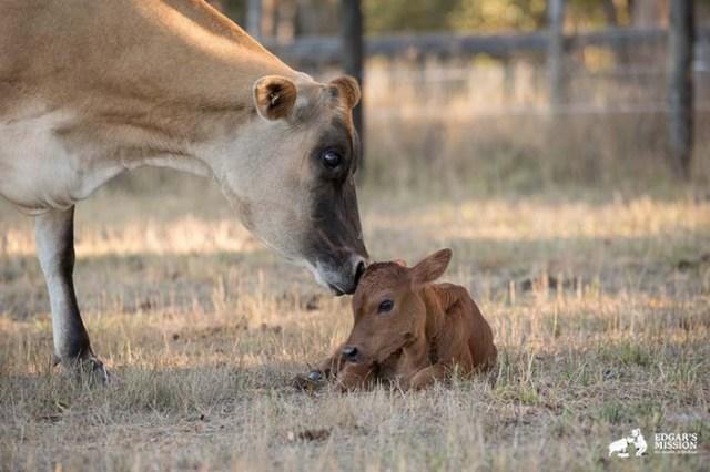 Mucca nasconde il suo bambino appena nato
