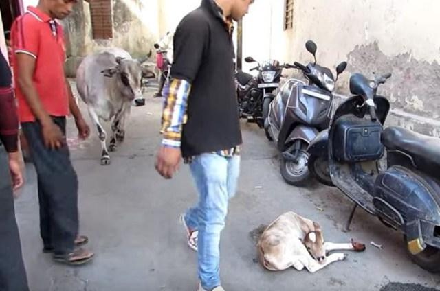 Vaca no se aleja de su bebe lesionado