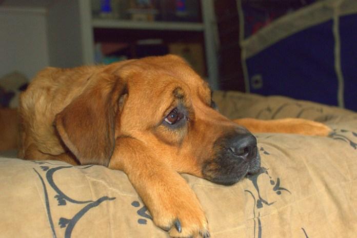 El sobrepeso en los perros se produce a menudo por una vida sedentaria