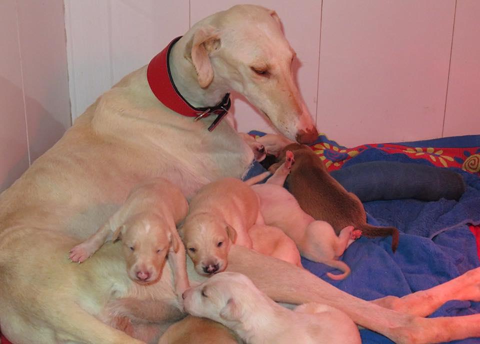 Galga y sus crías