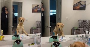 Golden retriever tiene la mejor reacción al encontrar a su papá en el espejo