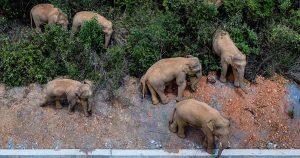 Una manada de elefantes vaga en China