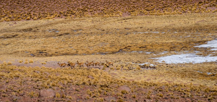 Vicuñas Salvajes en La Puna. Provincia de Salta. Argentina 2017.