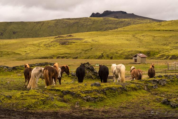 Caballos en el refugio de Hvanngil. Landmannalaugar. Islandia 2018