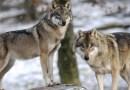 Autoridades de Colorado observan cachorros de lobo gris por primera vez en casi 80 años