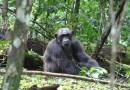 Observan por primera vez a chimpancés atacando y matando a gorilas en la naturaleza