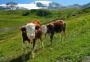 El estómago de las vacas puede descomponer el plástico difícil de reciclar, según un estudio