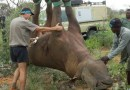 Experimento para trasladar rinocerontes colgados boca abajo gana el Premio Ig Nobel