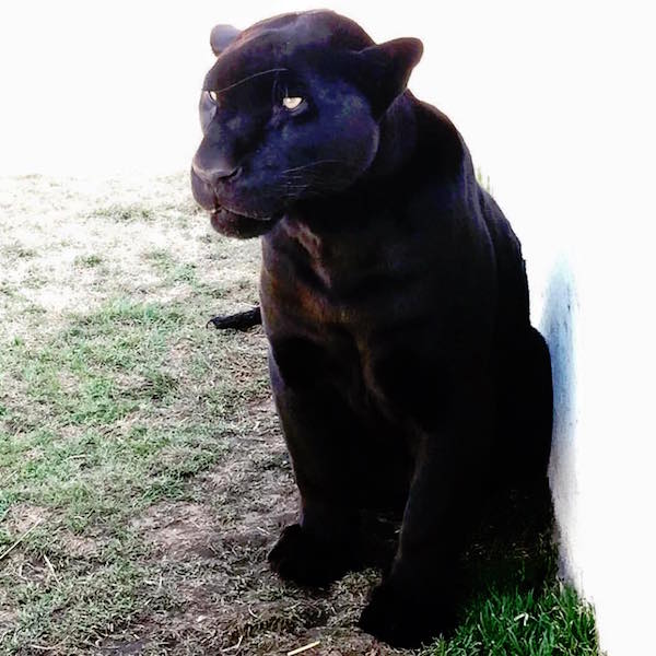 panther small
