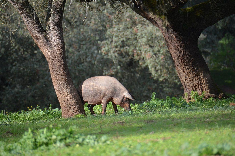 Viajar a Guijuelo. Cerdo Ibérico