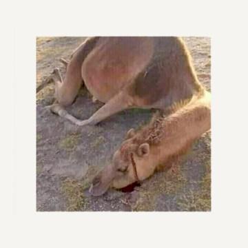 Carta abierta de escritores saharauis en el exilio a la UNESCO y a defensores de los animales