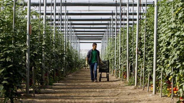 Sale a la luz la «megalópolis ilegal» del tomate que construye el rey de Marruecos en el Sahara – Sevilla.ABC