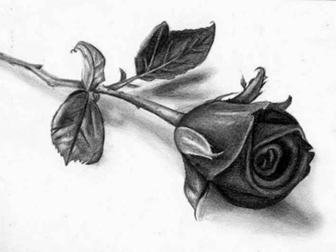 Gambar sketsa bunga mawar