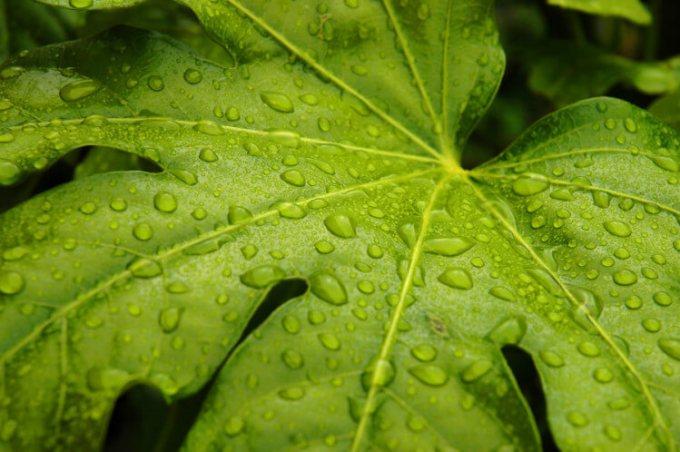 beragam manfaat daun tin