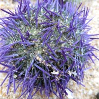 A flood of urchins