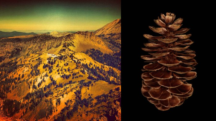Lassen_Pinecone copy
