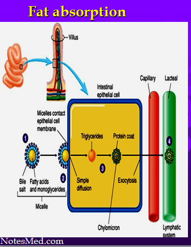 Read more about the article The lipids: Digestion, Absorption, Reaction-NotesMed