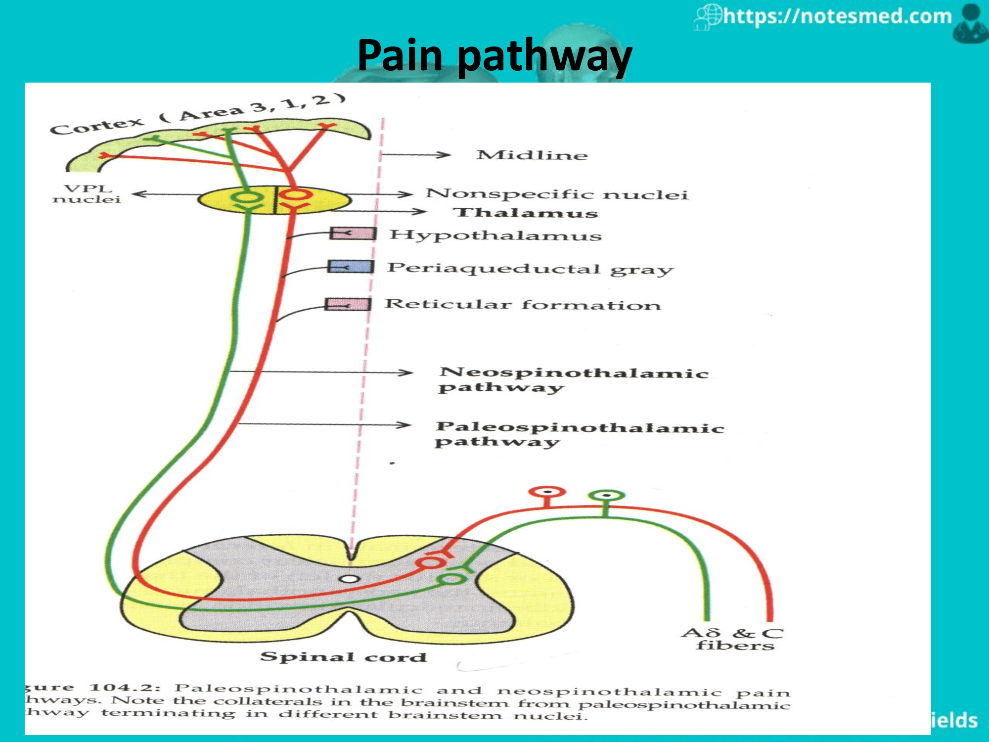 Read more about the article Physiology of the pain: Pathway, Types, Referred pain
