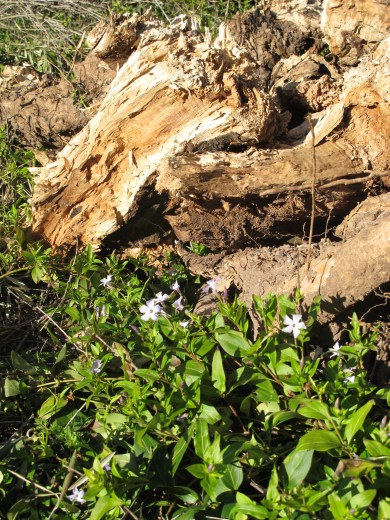 olive wood and vinca 15-3-13