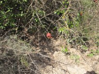 freshly dug earth beneath tree3 with pomegranate 11-2-15