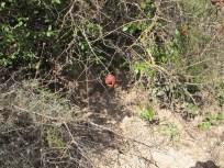 freshly dug earth beneath tree3 with pomegranate 11-2-15