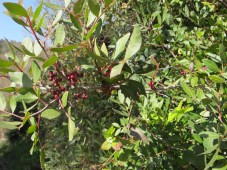 red berries - identify1 11-2-15