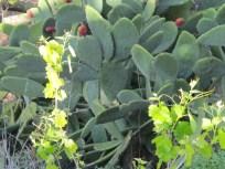 grape & prickly pear 12-4-15