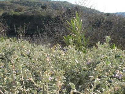 silver bushes1 31-3-15