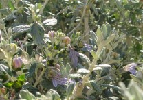 silver bushes2 31-3-15