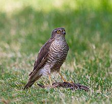 male Eurasian sparrowhawk - photo wikipedia 24-8-15