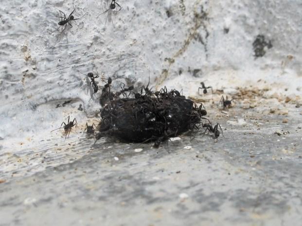 ants & olive4 20-4-15