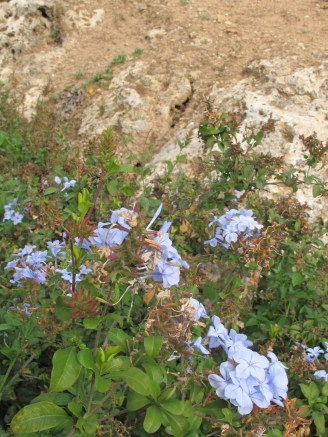 blue flowers - celestina 9-12-15