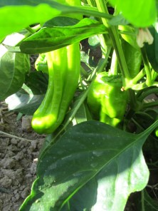 green peppers 22-7-15