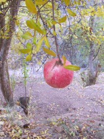 hanging pomegranate 15-12-15