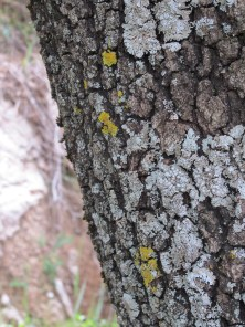 holm oak13 14-4-15
