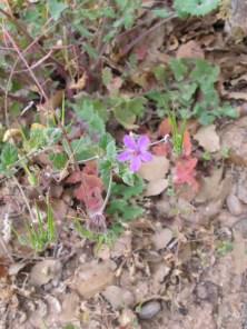 pink - Herb Robert1 14-4-15
