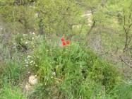 poppies 14-4-15