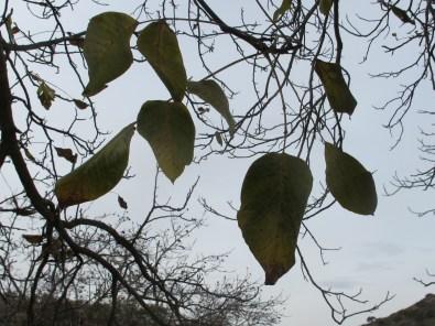 walnut1 15-12-15